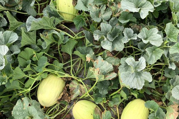 melon-house-fair-amarillo-piel-de-sol-01
