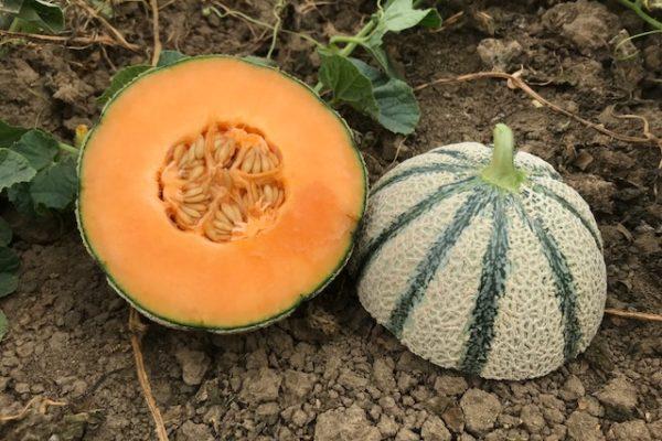 melon-house-fair-cantaloup-kalidor-01