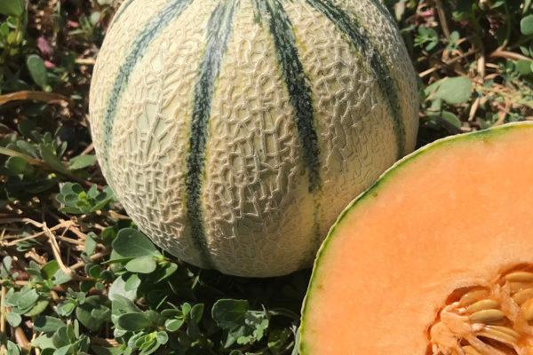 melon-house-fair-cantaloupe-e25c00750-02