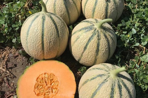 melon-house-fair-cantaloupe-e25c00750-03