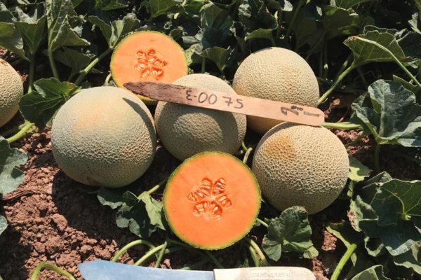 melon-house-fair-cantaloupe-kazta-03