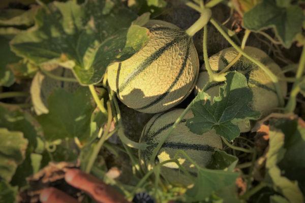 melon-house-fair-cantaloupe-sucredor-01
