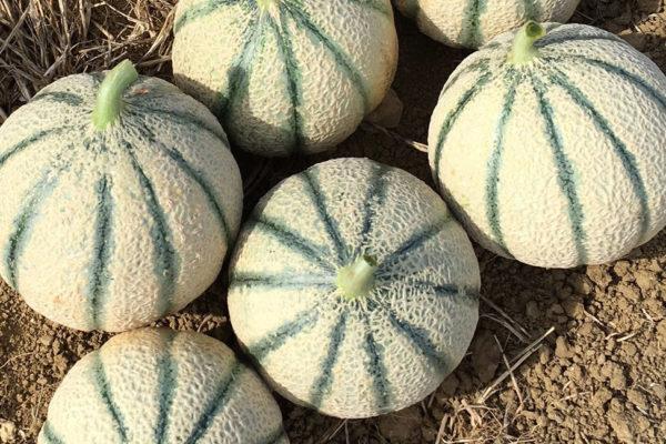 melon-house-fair-cantaloupe-sucredor-02