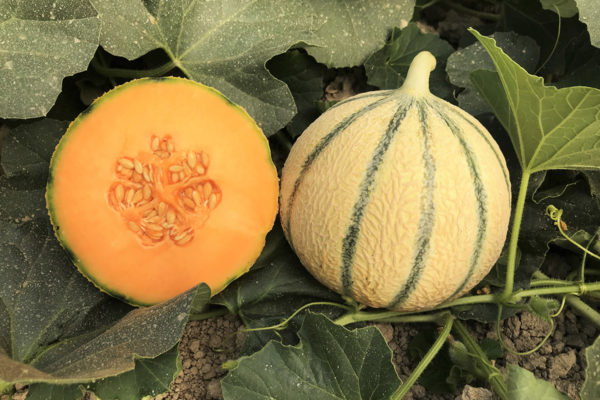 melon-house-fair-charentais-exquiz-01