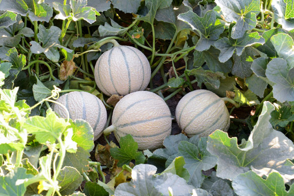 melon-house-fair-charentais-kadenza-01