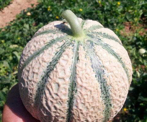 melon-house-fair-charentais-kadenza-02