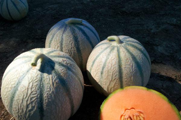 melon-house-fair-charentais-kenza-01