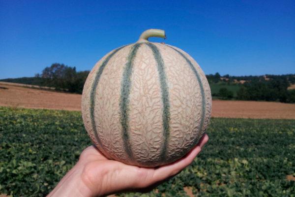 melon-house-fair-charentais-kenza-02