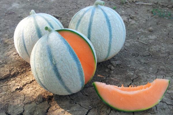 melon-house-fair-charentais-kenza-03