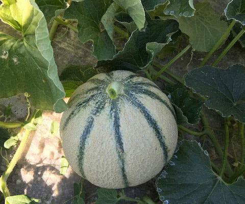melon-house-fair-charentais-renaudot-01