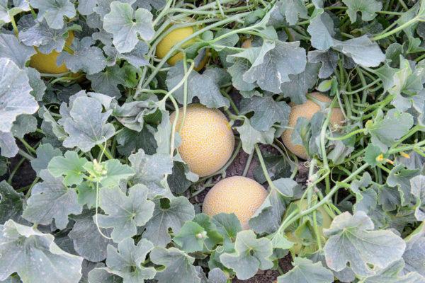 melon-house-fair-galia-abisal-02