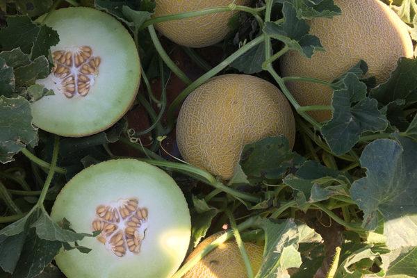 melon-house-fair-galia-medial-02