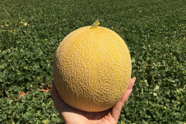 melon-house-fair-galia-medial-03