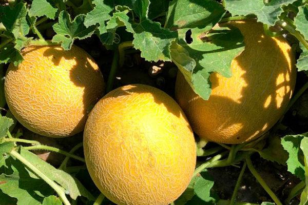 melon-house-fair-galia-medial-04