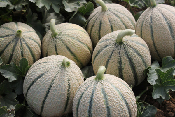 melon-house-fair-italian-netted-aiace-01