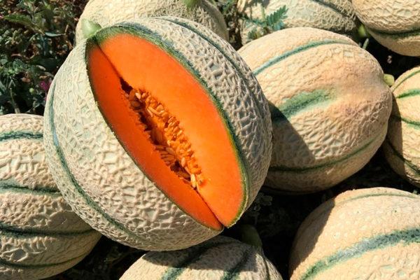 melon-house-fair-italian-netted-aiace-02