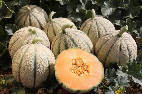 melon-house-fair-italian-netted-aiace-04