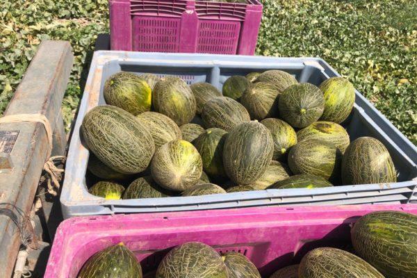 melon-house-fair-piel-de-sapo-osorio-07