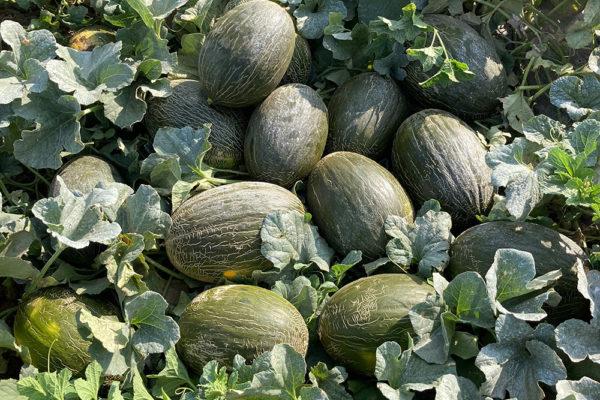 melon-house-fair-almaden