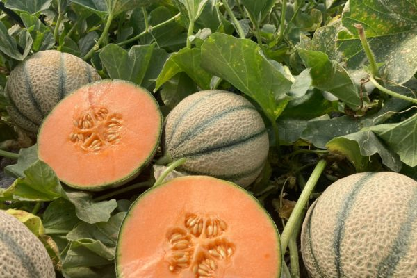 Enza Zaden - Melon House Fair - Cantaloupe - Enzor - 01