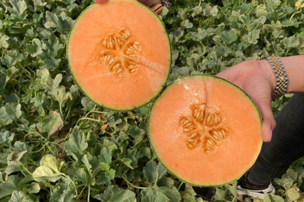 Enza Zaden - Melon House Fair - Cantaloupe - Enzor - 03