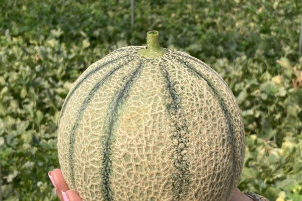 Enza Zaden - Melon House Fair - Cantaloupe - Enzor - 04