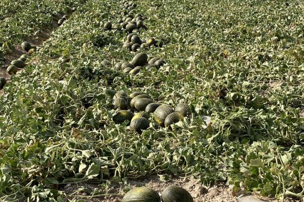 enza-zaden-melon-house-fair-piel-de-sapo-almaden-05