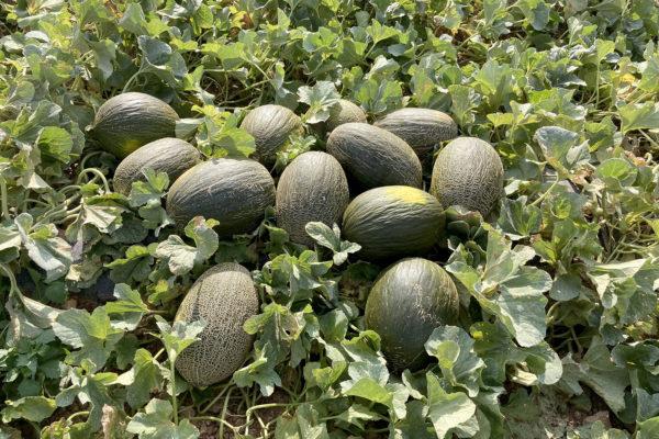 enza-zaden-melon-house-fair-piel-de-sapo-almaden-12