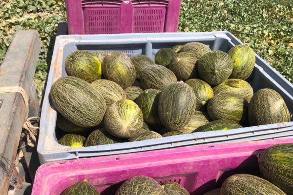 enza-zaden-melon-house-fair-piel-de-sapo-almaden-17