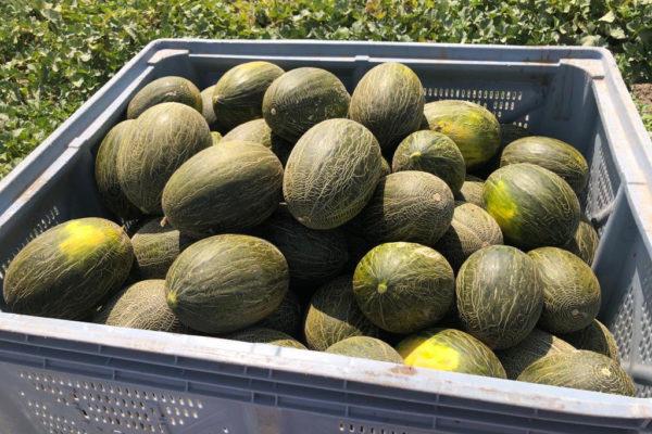 enza-zaden-melon-house-fair-piel-de-sapo-almaden-19