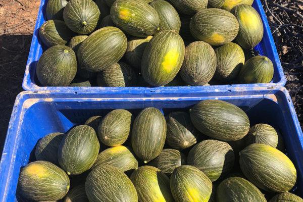 enza-zaden-melon-house-fair-piel-de-sapo-camacho-01