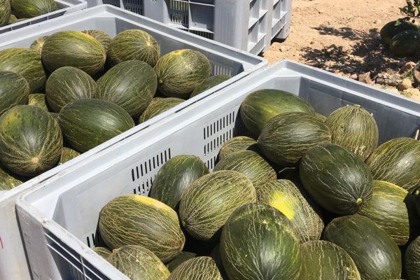 enza-zaden-melon-house-fair-piel-de-sapo-camacho-02