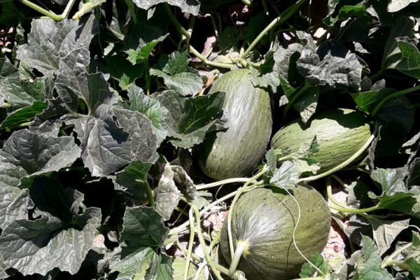 enza-zaden-melon-house-fair-piel-de-sapo-camacho-04