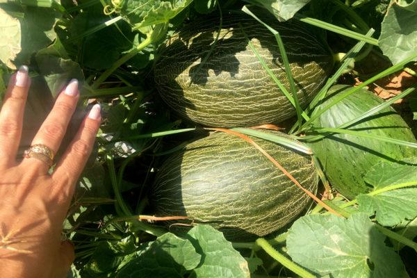 enza-zaden-melon-house-fair-piel-de-sapo-camacho-05