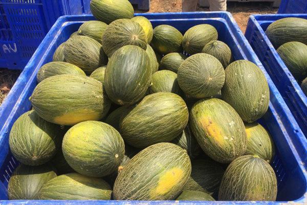 enza-zaden-melon-house-fair-piel-de-sapo-camacho-06
