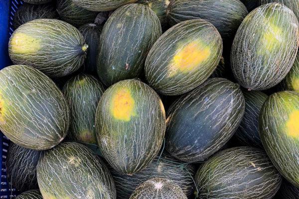 enza-zaden-melon-house-fair-piel-de-sapo-camacho-07