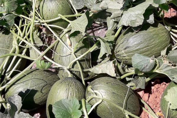 enza-zaden-melon-house-fair-piel-de-sapo-camacho-08