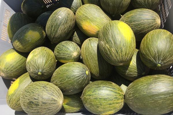 enza-zaden-melon-house-fair-piel-de-sapo-camacho-11