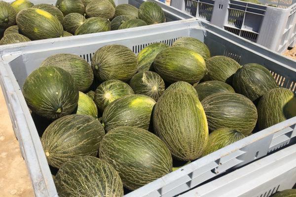enza-zaden-melon-house-fair-piel-de-sapo-camacho-12