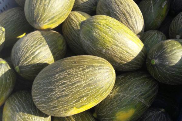 enza-zaden-melon-house-fair-piel-de-sapo-campuzano-01