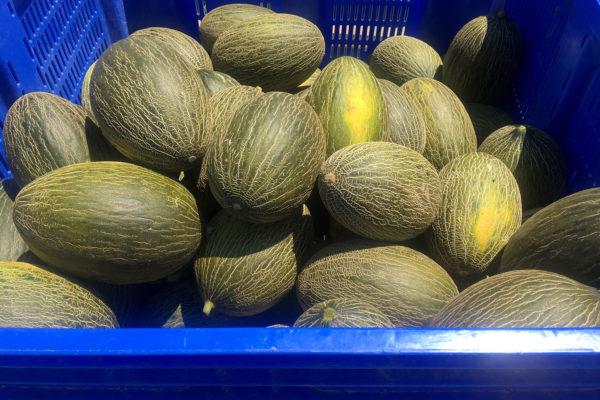 enza-zaden-melon-house-fair-piel-de-sapo-campuzano-05