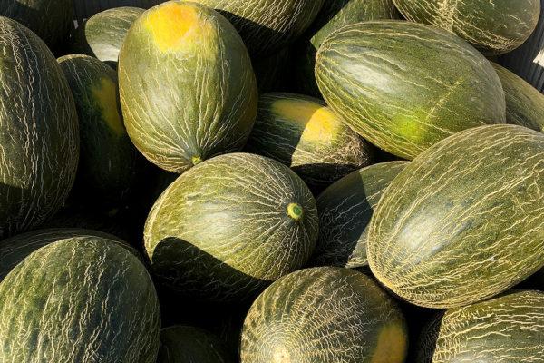 enza-zaden-melon-house-fair-piel-de-sapo-campuzano-10