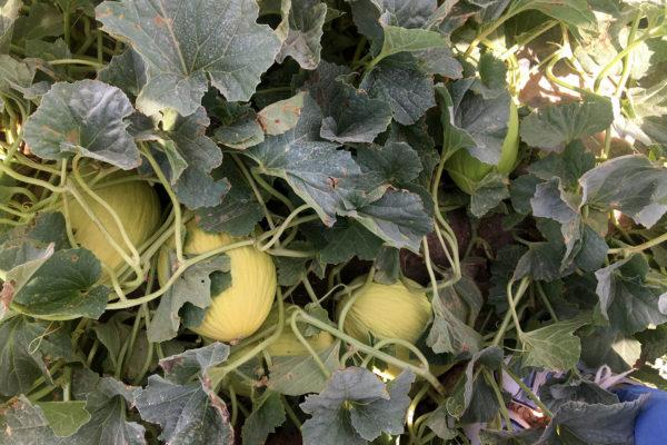 enza-zaden-melon-house-fair-piel-de-sol-02