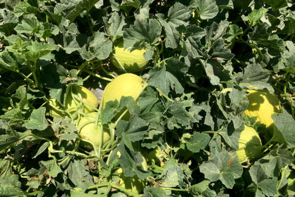 enza-zaden-melon-house-fair-piel-de-sol-07