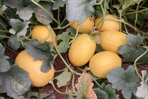 melon-house-fair-amarillo-mielon-04