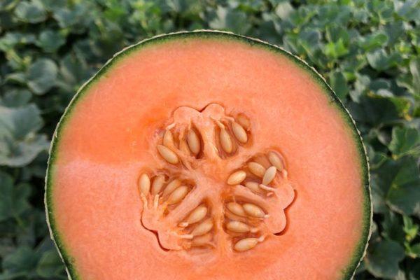 melon-house-fair-cantaloup-enzor-01