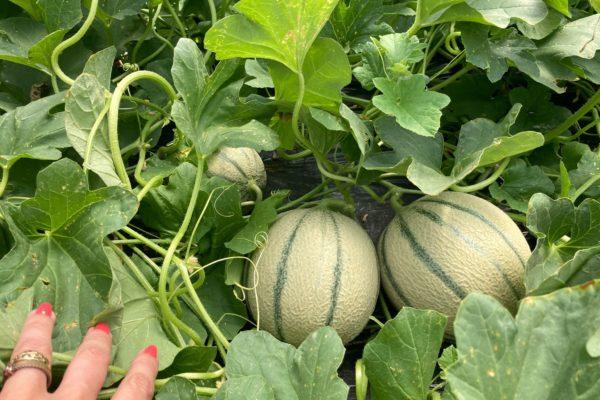 melon-house-fair-cantaloup-enzor-03