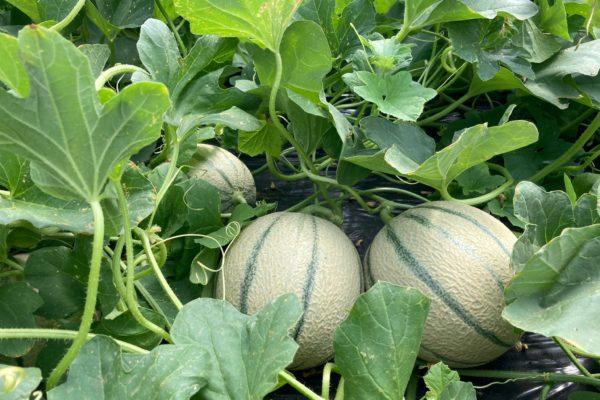 melon-house-fair-cantaloup-enzor-04
