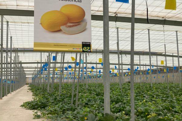 melon-house-fair-enza-zaden-melon-amarillo-mielon-2021-02