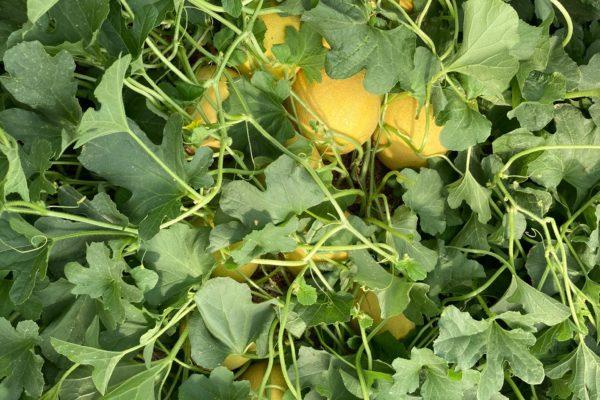 melon-house-fair-galia-estelar-02